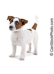 russel, terrier, bubi, kutya