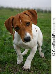 russel, terrier, cric
