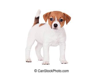 russell, 1, mes, perrito, gato, blanco, viejo