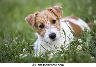 russell, aanhalen, dog, het kijken, dommekracht, puppy, terrier, vrolijke