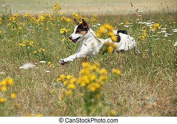 russell, asombroso, corriente, saltar, gato, terrier