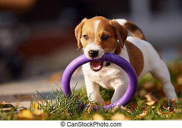 russell, casta, parque, perro, otoño, gato, terrier, juego