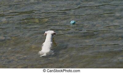 russell, cric, balle, eau, chien