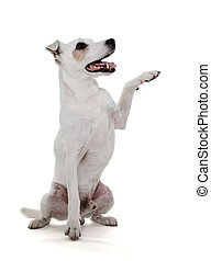 russell, pata, aislado, gato, blanco, terrier, da