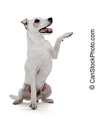 russell, Pfote, Freigestellt, wagenheber, weißes, terrier,...