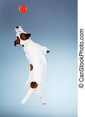 russell, saltando alto, gato, pequeño, terrier