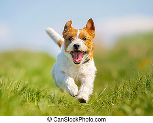 russell, terrier, chien, cric