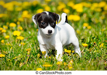 russell, terrier, gato, jardín