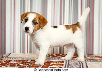 russell, terrier, perro, gato
