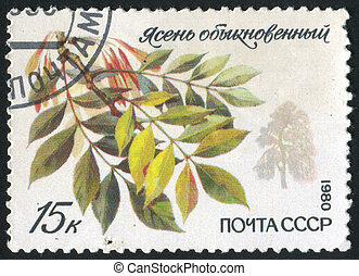 European ash - RUSSIA - CIRCA 1980: stamp printed by Russia,...