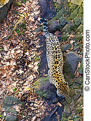 Russia, Primorskiy Leopard. big spotted cat. Taiga