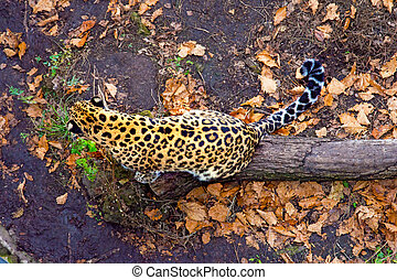 Russia, Primorskiy Leopard sitting on the tree. big spotted cat. Taiga