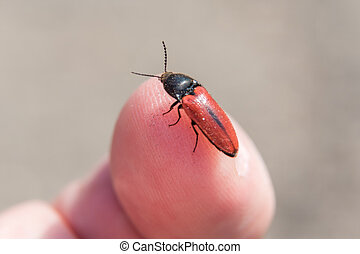 A red beetle photographed very close on a human finger.