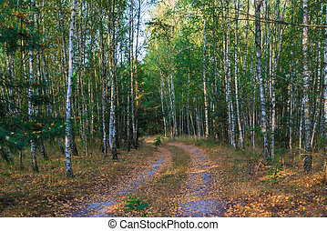 russian autumn forest, landscape with birches