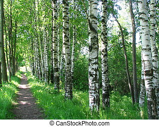 Birches and maples growing along a path