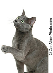 Russian blue cat isolated on white