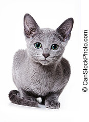 Russian blue kitten looking at the camera (isolated on white)
