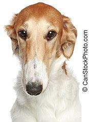 Russian Borzoi dog. Head profile close-up portrait
