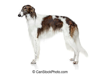Russian borzoi dog on white background
