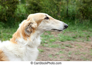 Russian borzoi dog portrait