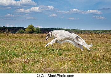 Russian borzoi dog running in the field