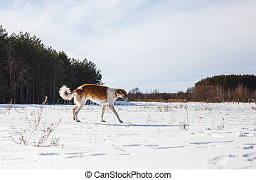 Russian Borzoi dog runs through a snowy field in winter