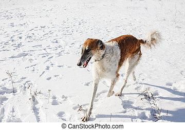 Russian Borzoi dog runs through a snowy field in winter