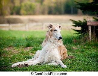 russian borzoi dogs
