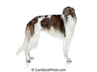 Russian borzoi, greyhound dog