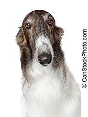 Russian borzoi, greyhound dog