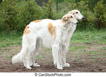 Russian borzoi hounds