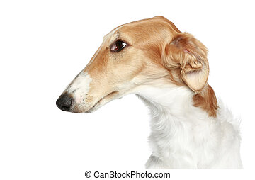 Russian Borzoi - Wolfhound dog. Head profile close-up...