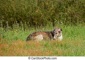 borzoi - russian borzoi wolfhound lying in the sunshine...