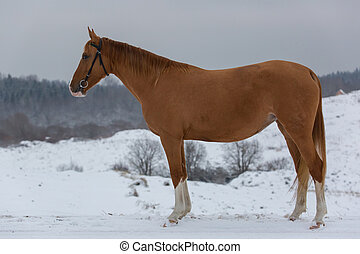 Russian Don horse