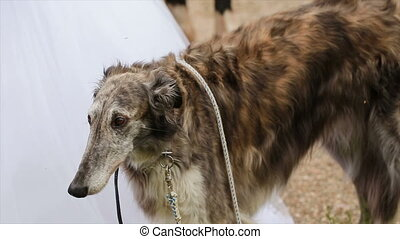 Russian Greyhounds are walking in the park with people.