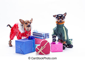 Russian toy chihuahua, toy-terrier and gift boxes.