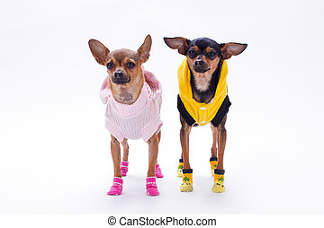 Russian toy-terrier and chihuahua.