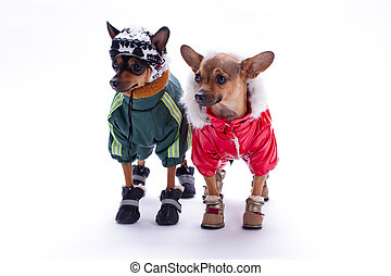 Russian toy terrier and chihuahua in clothes.