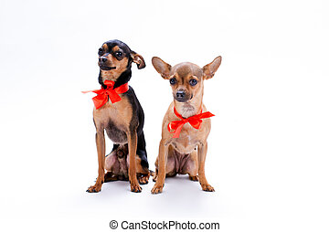 Russian toy-terrier and chihuahua in red bows.