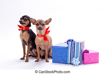 Russian toy-terrier and chihuahua in red ribbon.