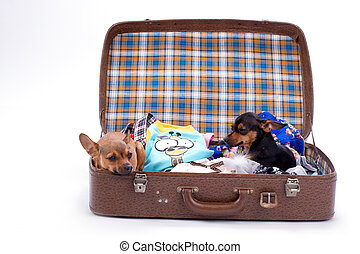 Russian toy-terrier and chihuahua in travel valise.