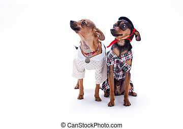 Russian toy terrier and chihuahua.