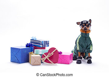 Russian toy-terrier and heap of gift boxes.
