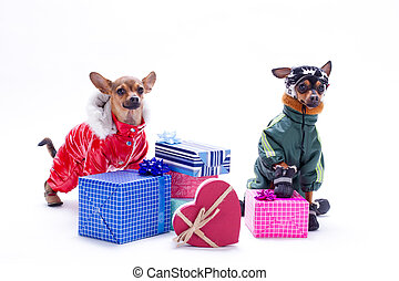 Russian toy-terrier, chihuahua and gift boxes.
