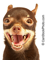 Russian toy-terrier. Thoroughbred dog...Ridiculous dog
