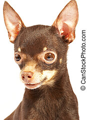 Russian toy-terrier.