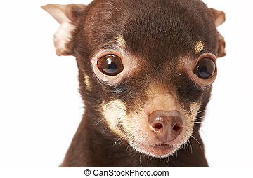 Russian toy-terrier