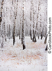 Birch grove after snowfall. Russia, Siberia, Novosibirsk...