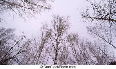 Russian winter - Birch Grove. April Birch Grove. Black and...