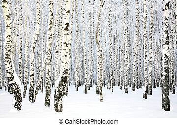 Russian winter - Birch Grove